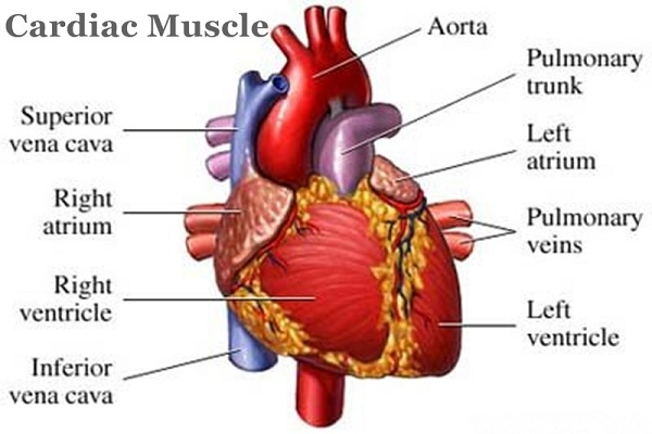 The Role of Muscles in Our Body